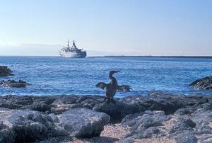cormorant in Galapagos